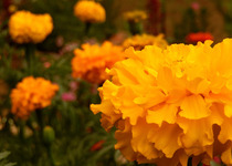 Marigolds, Aztec Golden Giants