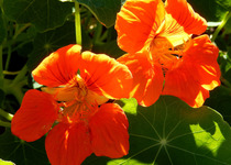 Nasturtium - Indian Cress