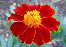 Marigolds, Golden Maroons