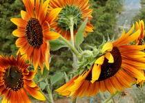 Sunflower, Hybrid Bicolors