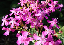 Catchfly, Sweet William