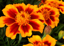 Marigolds, Tiger Eyes
