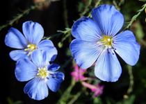 Blue Flax, Native