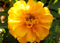 Marigolds, Bright Yellows