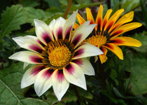 Gazania - Treasure Flower