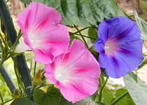 Morning Glories
