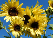 Sunflower, Lemon Yellows