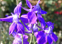 Larkspur Rockets