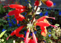 Salvia Scarlet Red