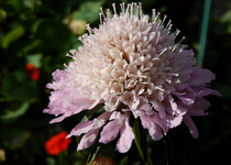 Scabiosa Egyptian Rose